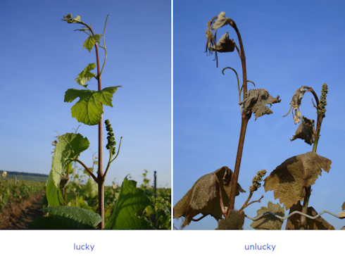 Frost Damage in Champagne