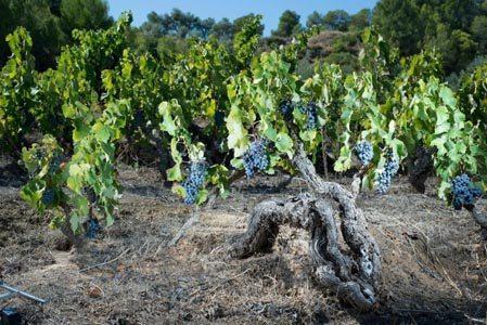 Acustic Cellar-Carignan-Samso-Vines