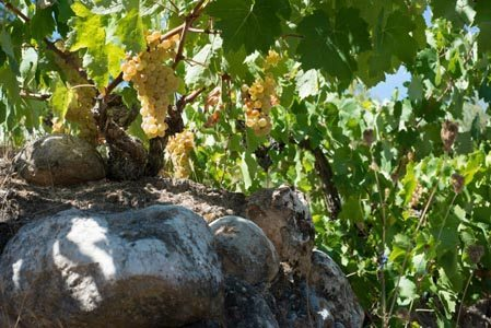Acustic-Cellar-Old-White-Grenache-Garnatxa-Vines