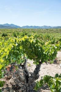 Acustic Celler-Monsant-Grenache-Vines