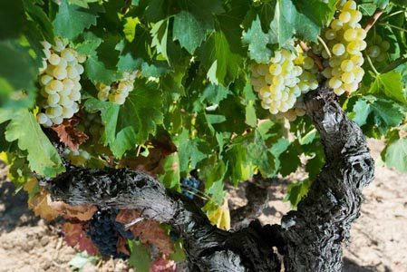 Acustic-Celler-Old-Grenache-Vines-Garnatxa