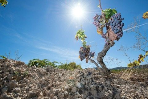 acustic celler vineyard - Monsant-Grenache