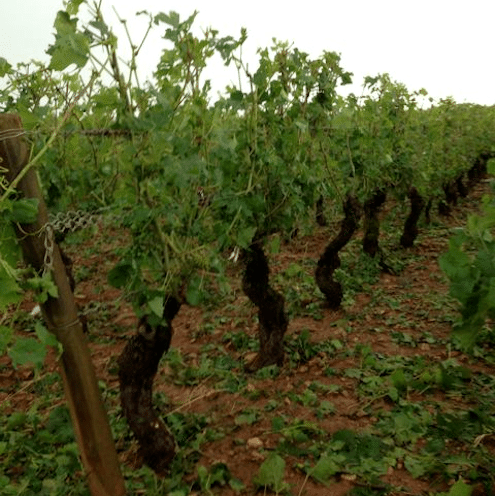 Laurent Pillot - Hail damage in Pommard Charmots-La Grele - Lea and Sandeman