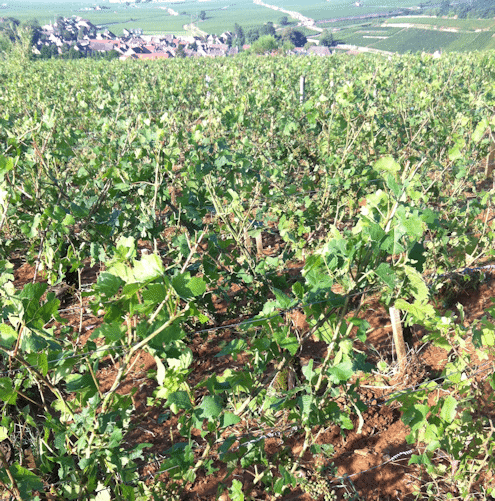 Nicolas Rossignol hail-smashed vines - La Grele - Lea and Sandeman