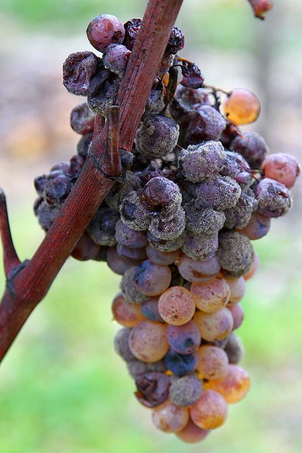 Botrytis Grapes