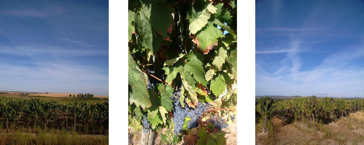 Arragonez vines at Terra d'Alter