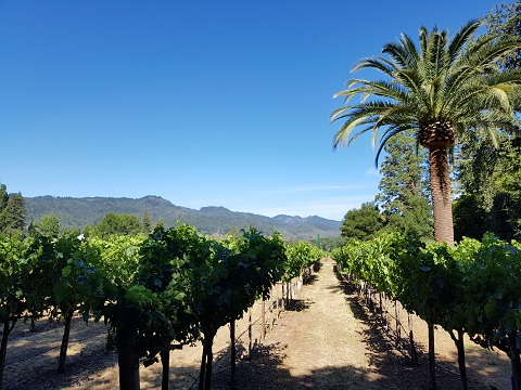 Immaculate Vineyards in Central Napa