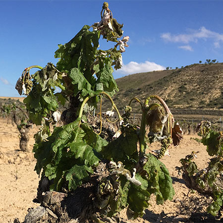 Artuke-frosted-vine