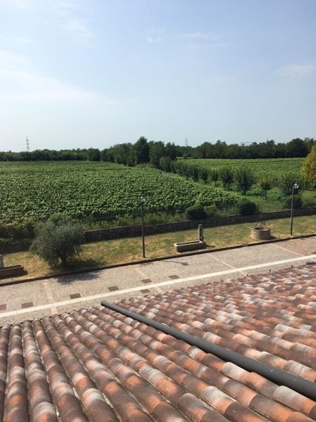 A view of the growing vines at Corteaura
