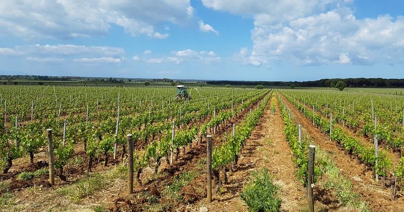Le-Macchiole-Vineyard-Bolgheri
