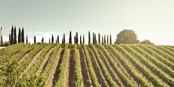 Vineyard Montalcino