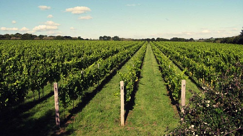 Langham-Estate-Dorset-Vineyard