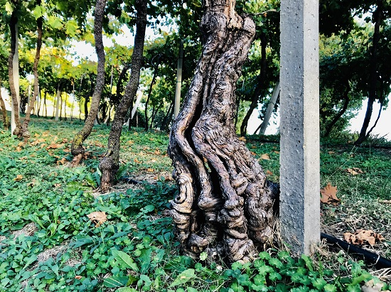 150-year-old-vine-Le-Battistelle-Soave
